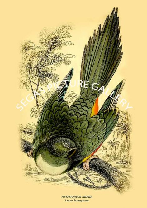 Fine art print of the PATAGONIAN ARARA - Arara Patagonica by Prideaux J. Selby (1836)
